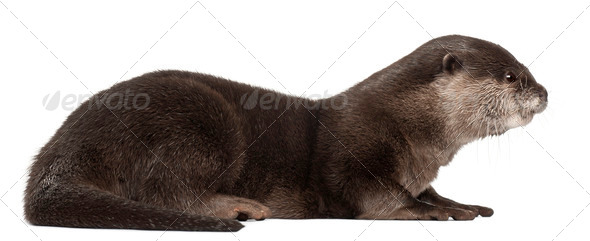 Side view of Oriental small-clawed otter, Amblonyx Cinereus, 5 years old, front of white background - Stock Photo - Images
