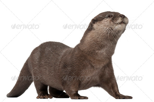 Oriental small-clawed otter, Amblonyx Cinereus, 5 years old, walking in front of white background - Stock Photo - Images