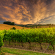 Beautiful vineyard at sunset. Travel around France, Bordeaux - PhotoDune Item for Sale