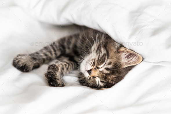 Cute little kitten looks out from under the blanket indoors - Stock Photo - Images