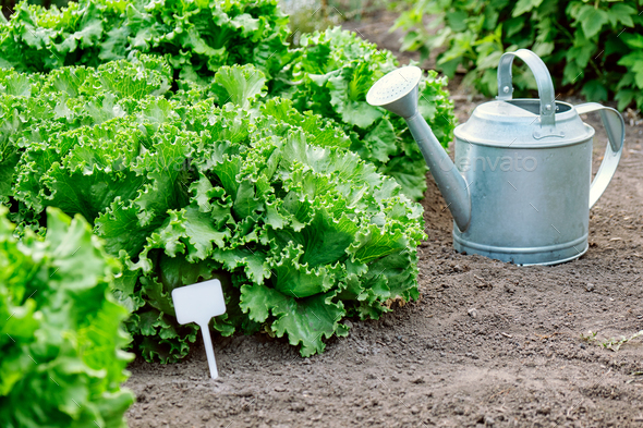 Growing of ecologically green Iceberg lettuce - Stock Photo - Images