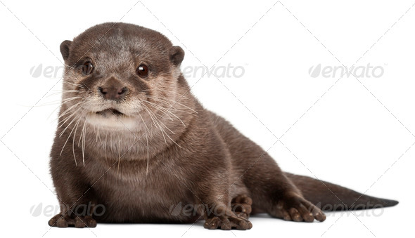 Oriental small-clawed otter, Amblonyx Cinereus, 5 years old, sitting in front of white background - Stock Photo - Images