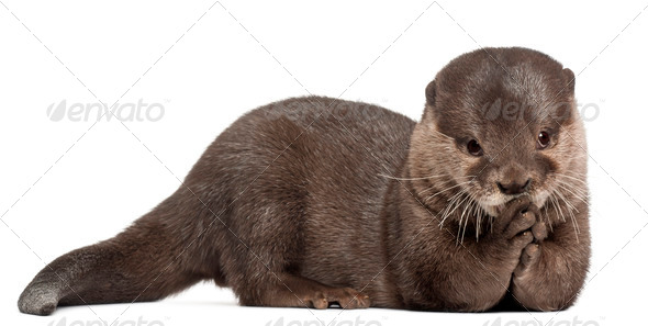 Oriental small-clawed otter, Amblonyx Cinereus, 5 years old, lying in front of white background - Stock Photo - Images