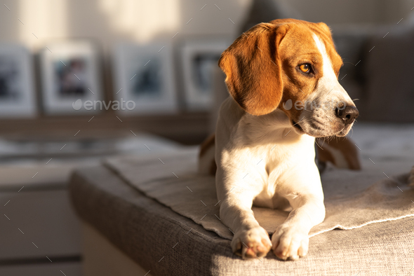 Beagle dog portrait on a couch - Stock Photo - Images