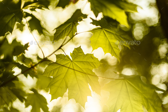 Leafs back lit - Stock Photo - Images