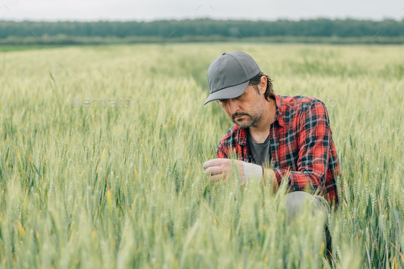 Serious wheat farmer agronomist inspecting cereal crops quality in cultivated agricultural field - Stock Photo - Images