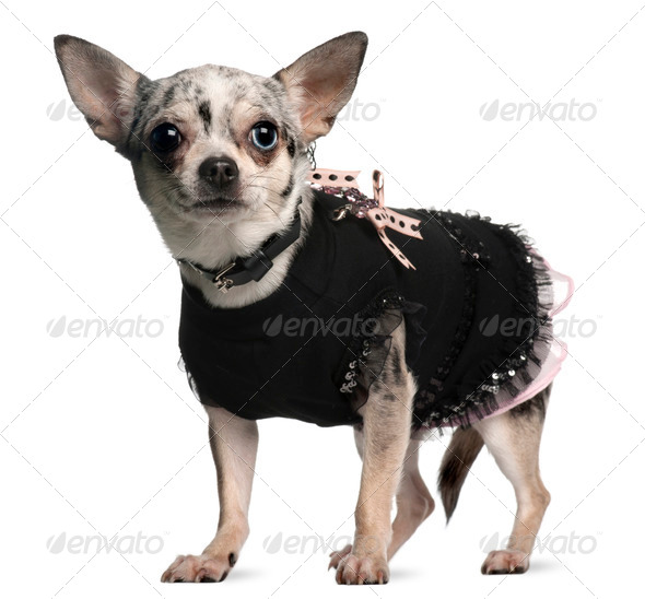 Chihuahua dressed up, 18 months old, standing in front of white background - Stock Photo - Images