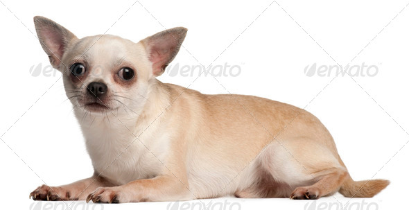 Chihuahua, 18 months old, lying down in front of white background - Stock Photo - Images