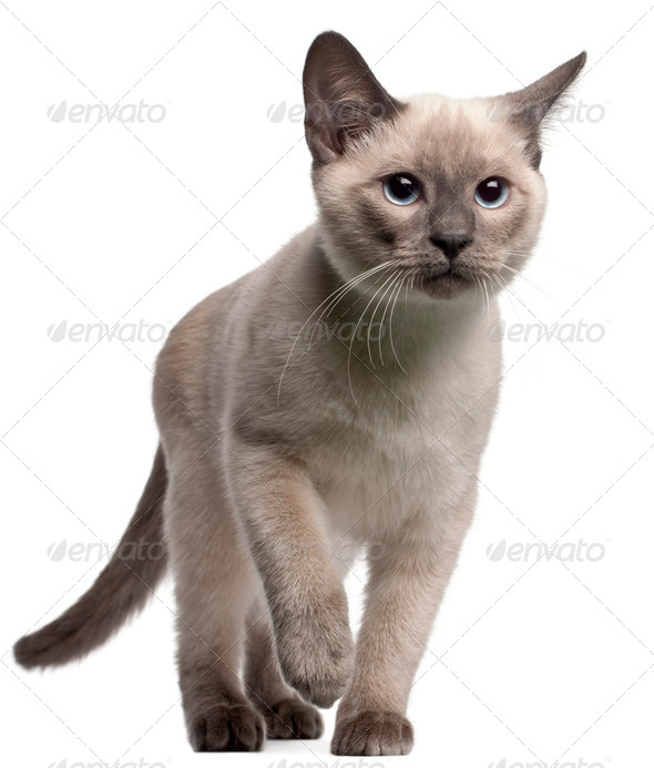 Thai kitten, 4 months old, walking in front of white background - Stock Photo - Images
