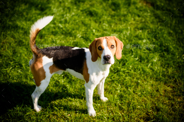 Beagle dog on a grass in park garden outdoors - Stock Photo - Images