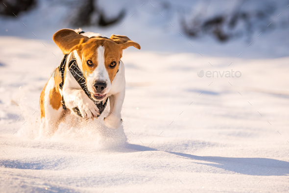A Beagle dog running in a field in covered in snow. Sunset during winter - Stock Photo - Images