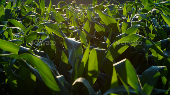 Field of corn in the sun countryside - Stock Photo - Images