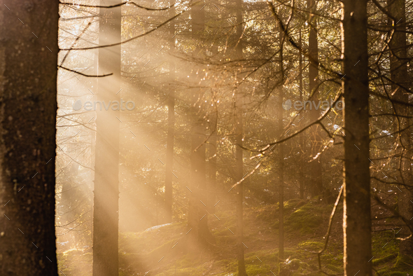 Magical Deep foggy Autumn Forest. Park. Beautiful Scene Misty Old Forest with Sun Rays, Shadows and - Stock Photo - Images