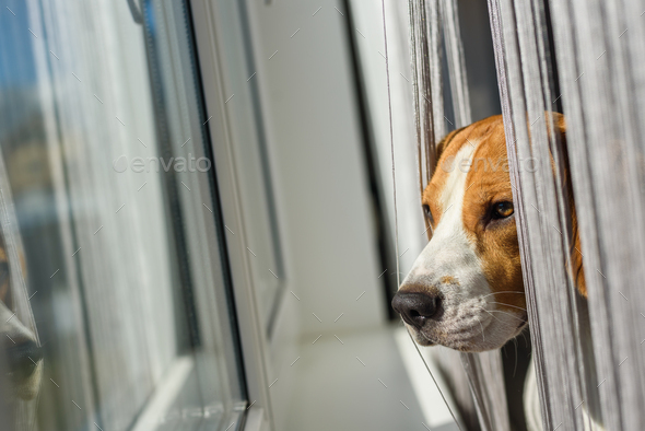 Beagle dog looking through the window - Stock Photo - Images