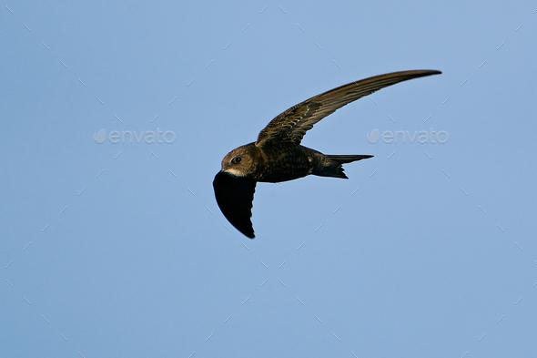 Common swift (Apus apus) - Stock Photo - Images