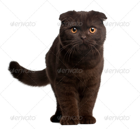 Scottish Fold Kitten, 4 months old, standing in front of white background - Stock Photo - Images