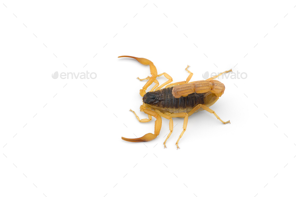 Yellow deadly dangerous scorpion top view isolated on white background - Stock Photo - Images