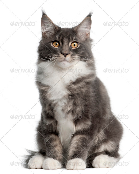 Maine Coon Kitten, 5 months old, sitting in front of white background - Stock Photo - Images