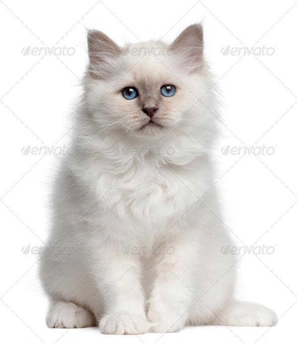 Birman kitten, 10 weeks old, sitting in front of white background - Stock Photo - Images