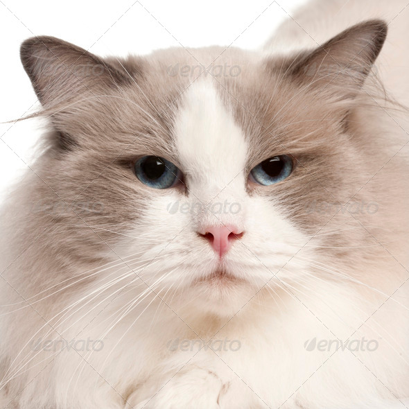 Close-up of Ragdoll cat, 2 years old, in front of white background - Stock Photo - Images