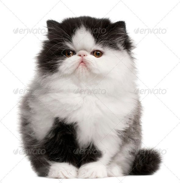 Persian Kitten, 10 weeks old, sitting in front of white background - Stock Photo - Images