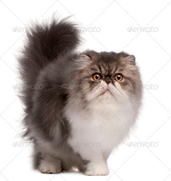 Persian cat, 6 months old, standing in front of white background - Stock Photo - Images