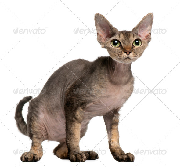Devon Rex cat, 2 years old, sitting in front of white background - Stock Photo - Images