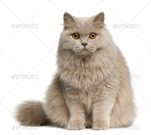 British longhair cat, 8 months old, sitting in front of white background - Stock Photo - Images