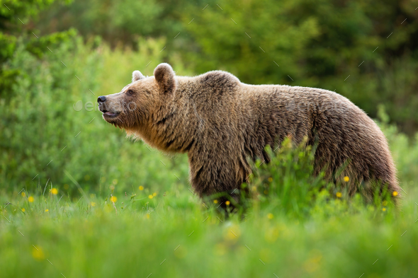 Alert brown bear sniffing with snout up in summer nature - Stock Photo - Images