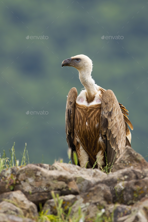 Alert griffon vulture sitting on a rocky horizon in summer mountains - Stock Photo - Images