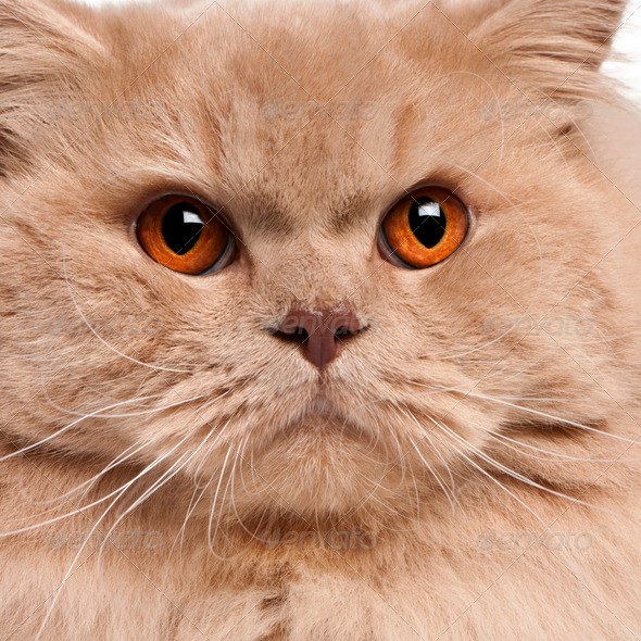 Close-up of British longhair cat, 15 months old - Stock Photo - Images