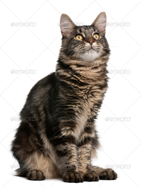 Maine Coon cat, 6 months old, sitting in front of white background - Stock Photo - Images