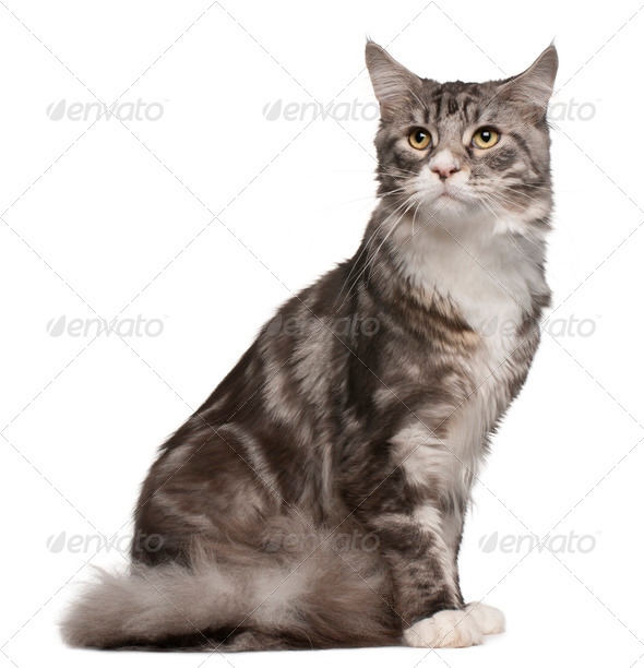 Maine coon cat, 1 year old, sitting in front of white background - Stock Photo - Images