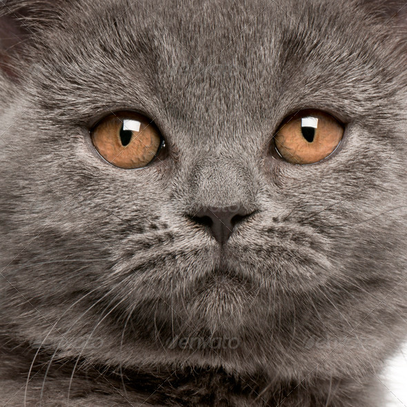 Close-up of British Shorthair kitten, 10 weeks old - Stock Photo - Images