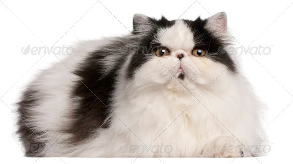 Persian Harlequin cat, 6 months old, lying in front of white background - Stock Photo - Images
