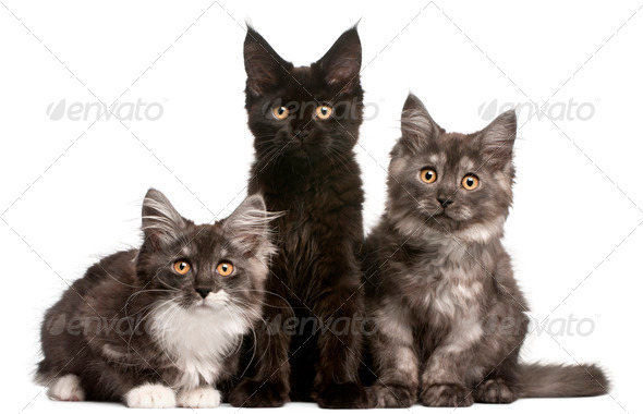 Maine Coon Kittens, 12 weeks old, sitting in front of white background - Stock Photo - Images