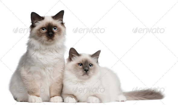Birman Kittens, 4 months old, sitting in front of white background - Stock Photo - Images