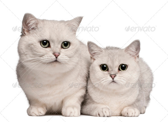 British Shorthair cats, 1 and 6 years old, in front of white background - Stock Photo - Images