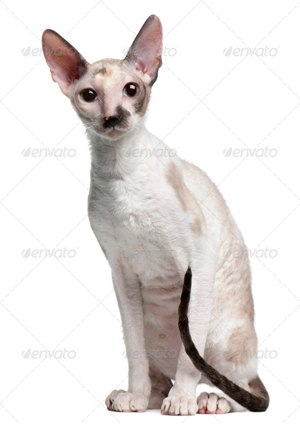 Cornish Rex cat, 7 months old, sitting in front of white background - Stock Photo - Images