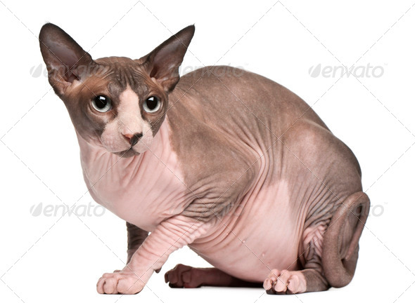 Sphynx cat, 18 months old, sitting in front of white background - Stock Photo - Images