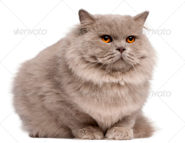 British Longhair cat, 2 years old, sitting in front of white background - Stock Photo - Images