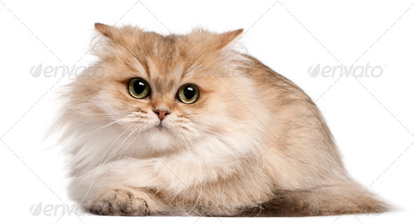 British Longhair cat, 3 years old, lying in front of white background - Stock Photo - Images