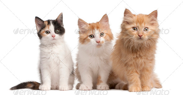 European Shorthair kittens, 10 weeks old, sitting in front of white background - Stock Photo - Images