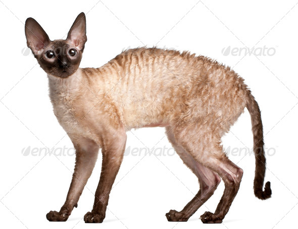 Cornish Rex cat, 14 months old, standing in front of white background - Stock Photo - Images
