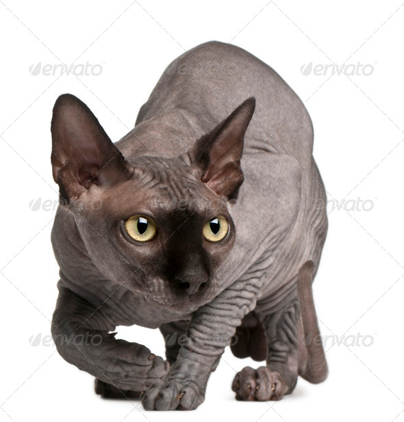 Sphynx cat, 11 months old, crouching in front of white background - Stock Photo - Images