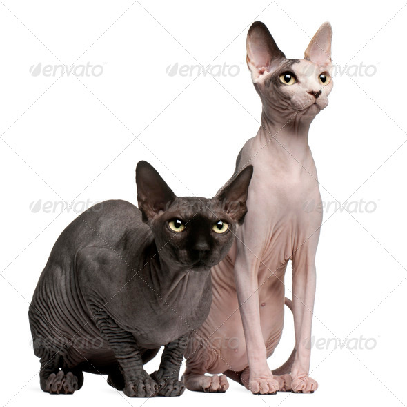 Sphynx cats, 13 months old, sitting in front of white background - Stock Photo - Images