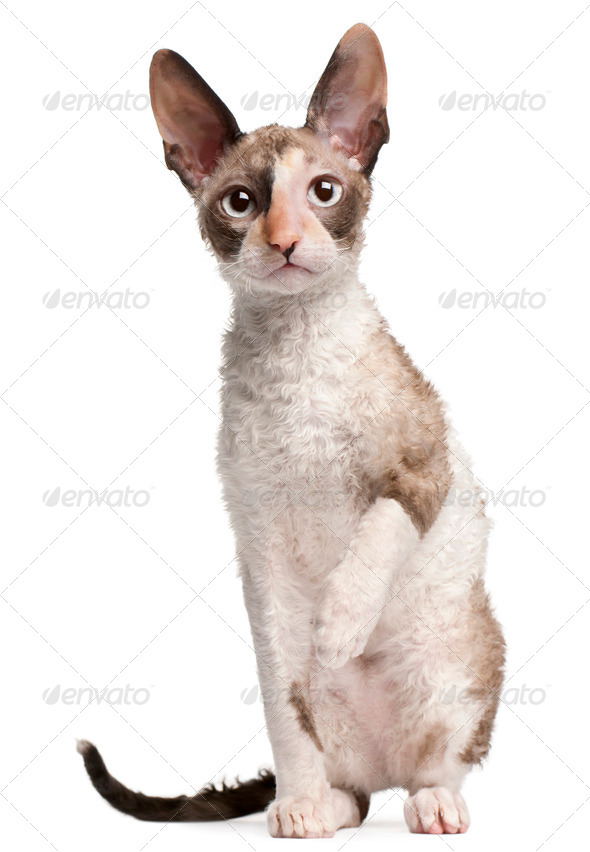Cornish Rex kitten, 4 months old, sitting in front of white background - Stock Photo - Images