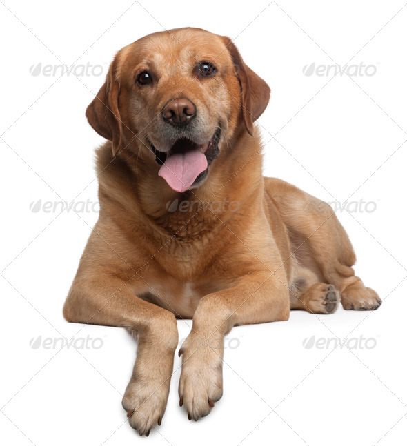 Labrador Retriever, 9 years old, lying in front of white background - Stock Photo - Images