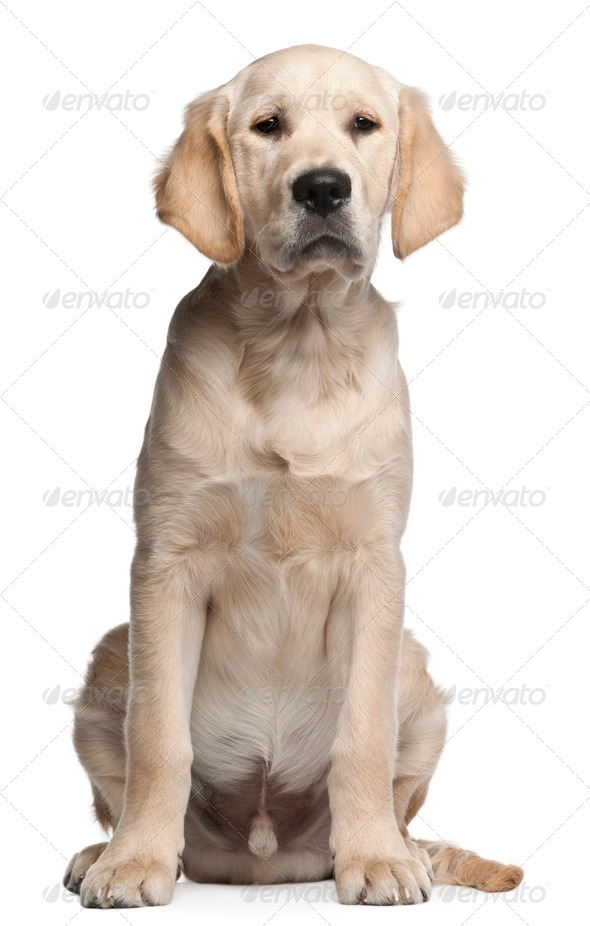 Golden Retriever puppy, 5 months old, sitting in front of white background - Stock Photo - Images