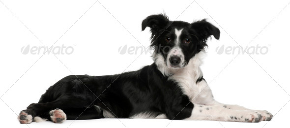Border Collie puppy, 5 months old, lying in front of white background - Stock Photo - Images